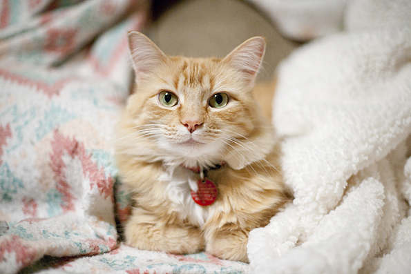orange tabby cat sleeping in blankets