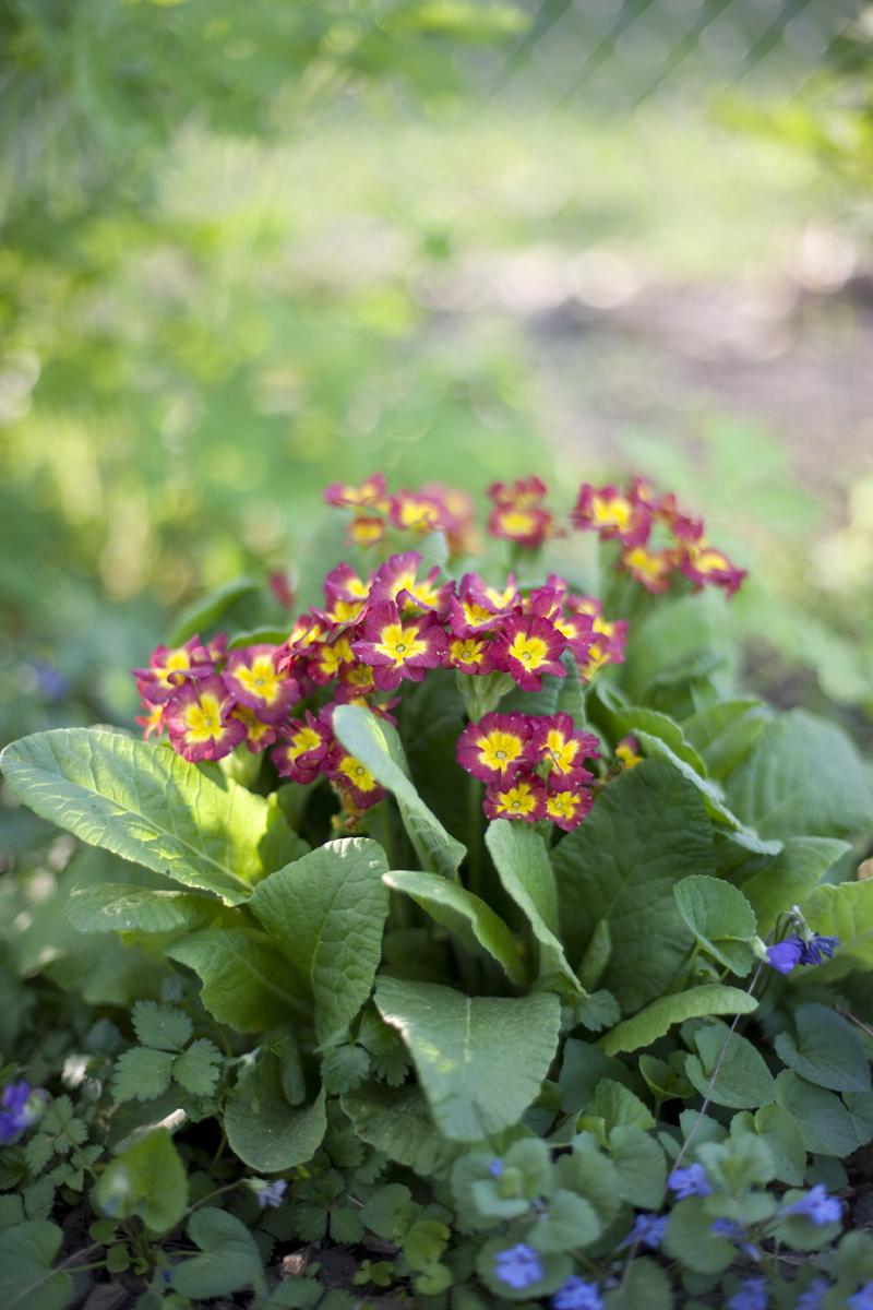 blooming primrose