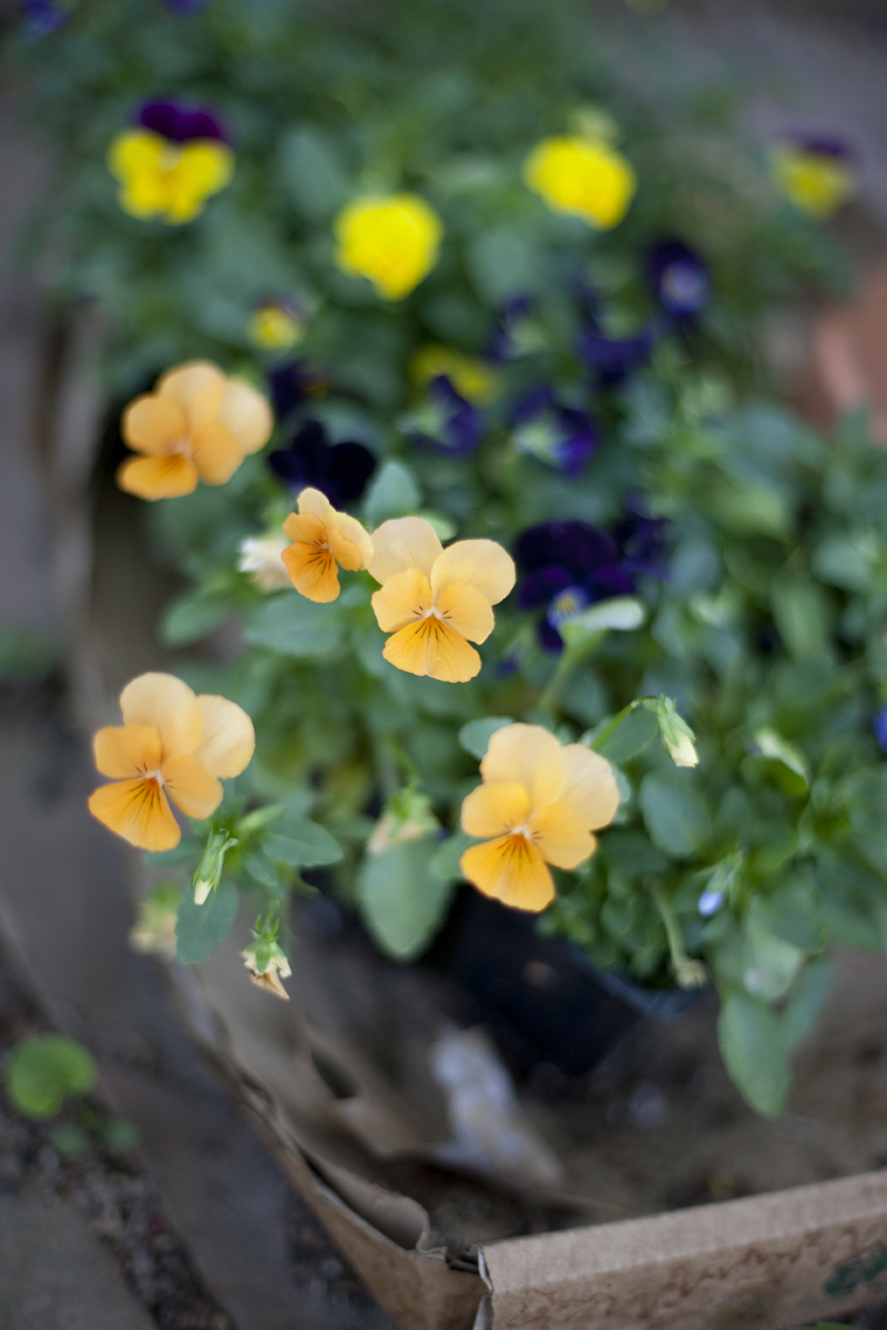 blooming violas