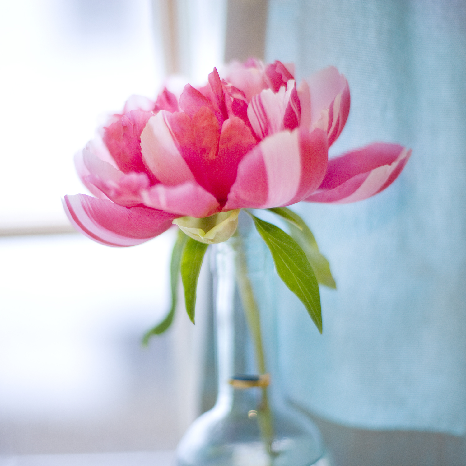 pink and white striped flower in windowsill