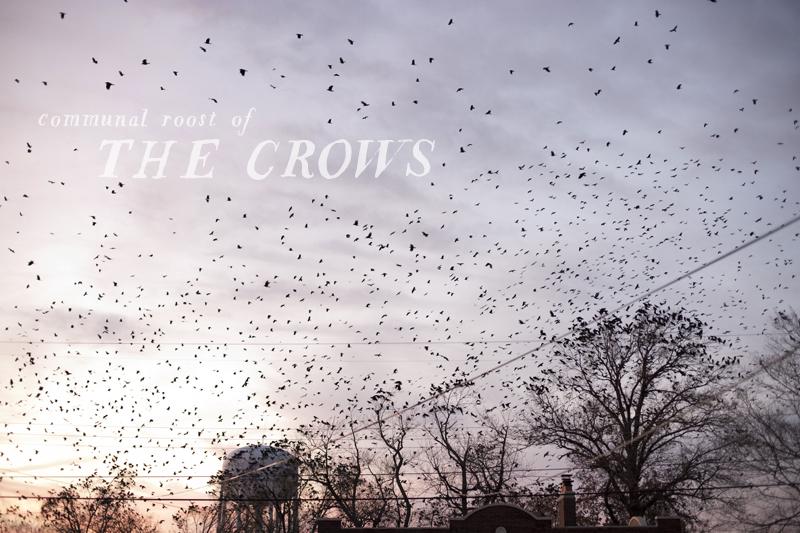 crow communal roost
